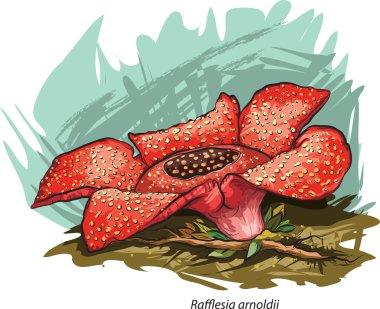 Corpse flower (Rafflesia arnoldii). stock vector