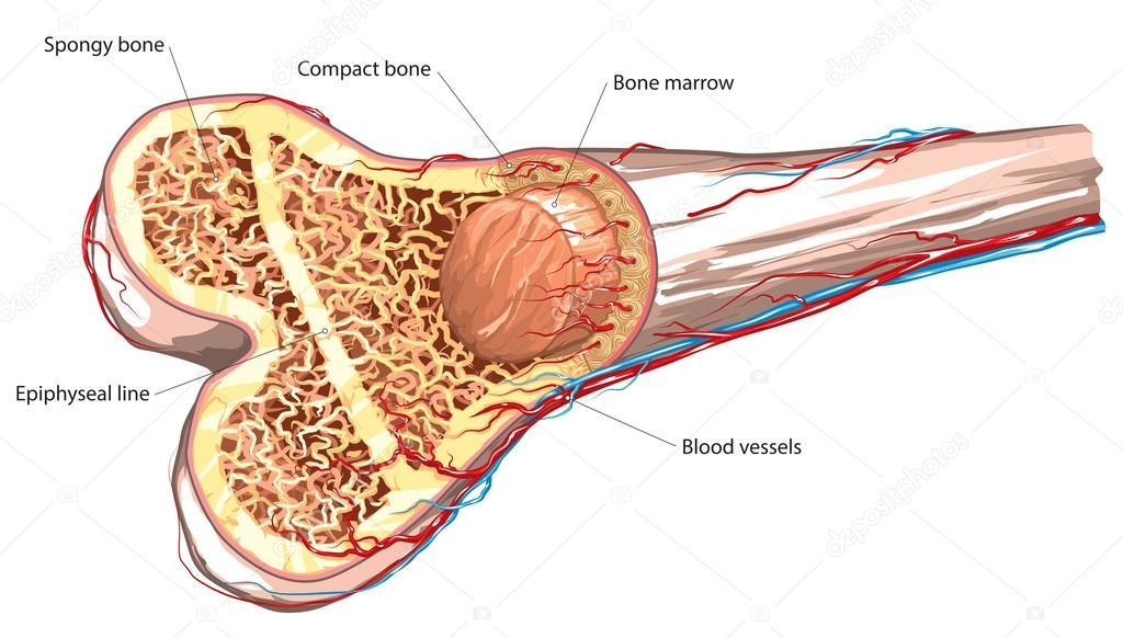 Menschlichen Knochenbau — Stockvektor © Lukaves #99693260