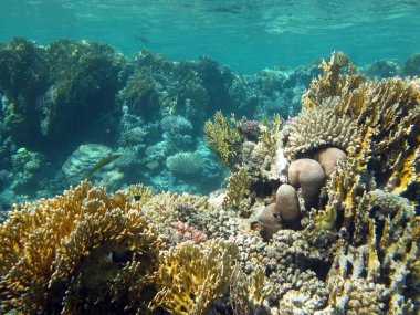 coral reef with fire corals in tropical sea, underwater