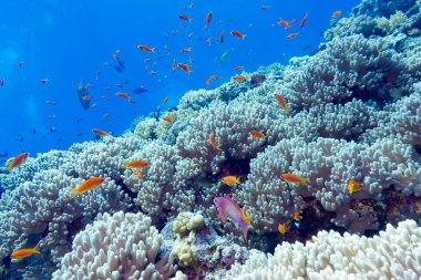 Coral reef at the bottom of tropical sea, underwater