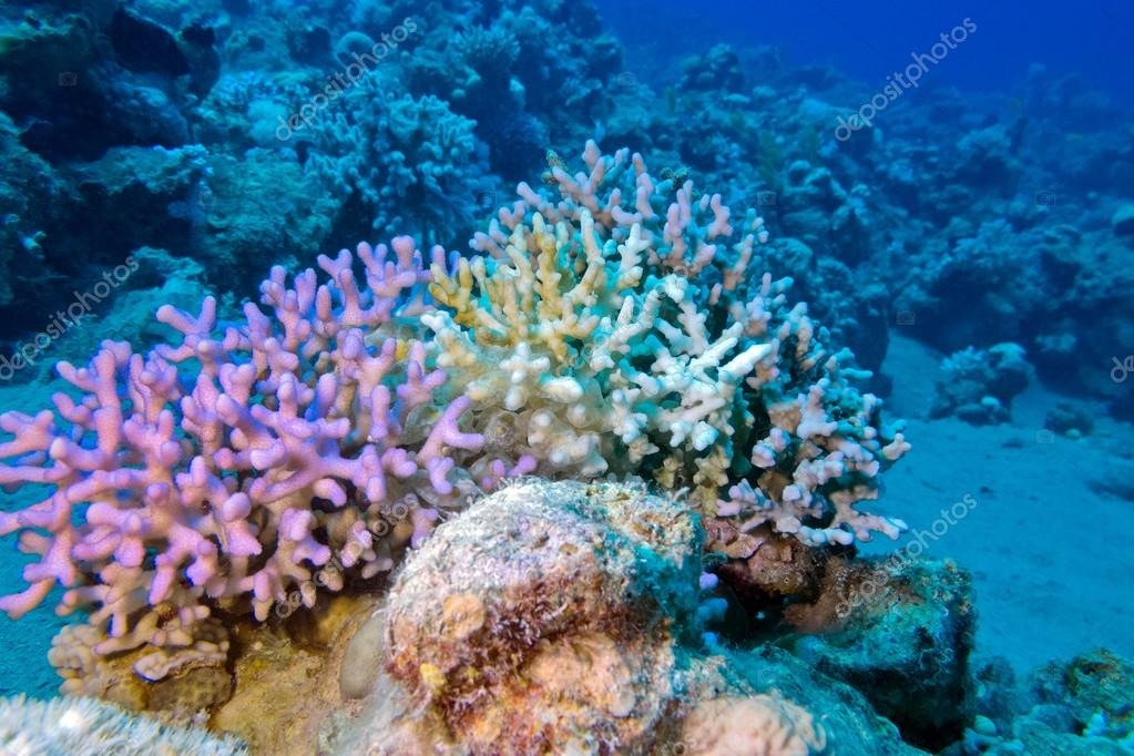 finger coral in tropical sea at great depth, underwater