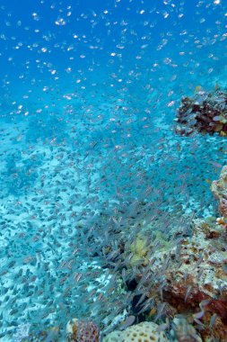 Shoal of glass fishes - Red Sea Sweepers, underwater