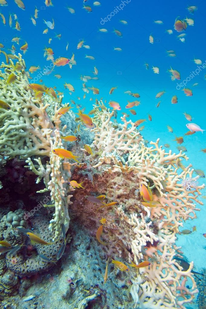 Fire coral and fishes athias in tropical sea, underwater