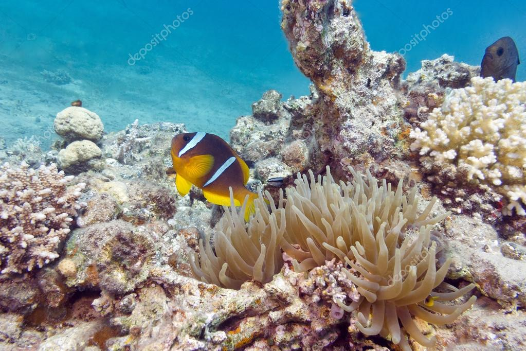 single Clownfish and sea anemone in tropical sea, underwater