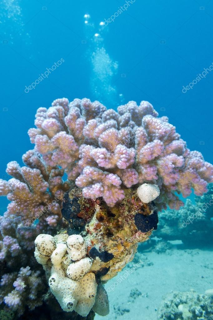 coral reef with pink rasberry coral in tropical sea, underwater