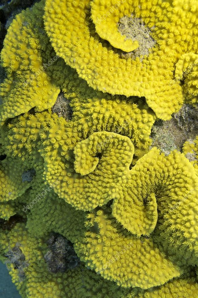 arrecife de coral con mesenterina turbinaria coral amarillo, bajo el ...