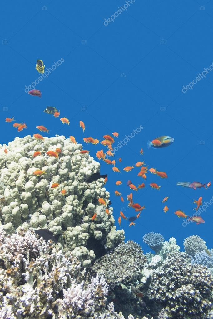 coral reef with exotic fishes Anthias in tropical sea, underwate
