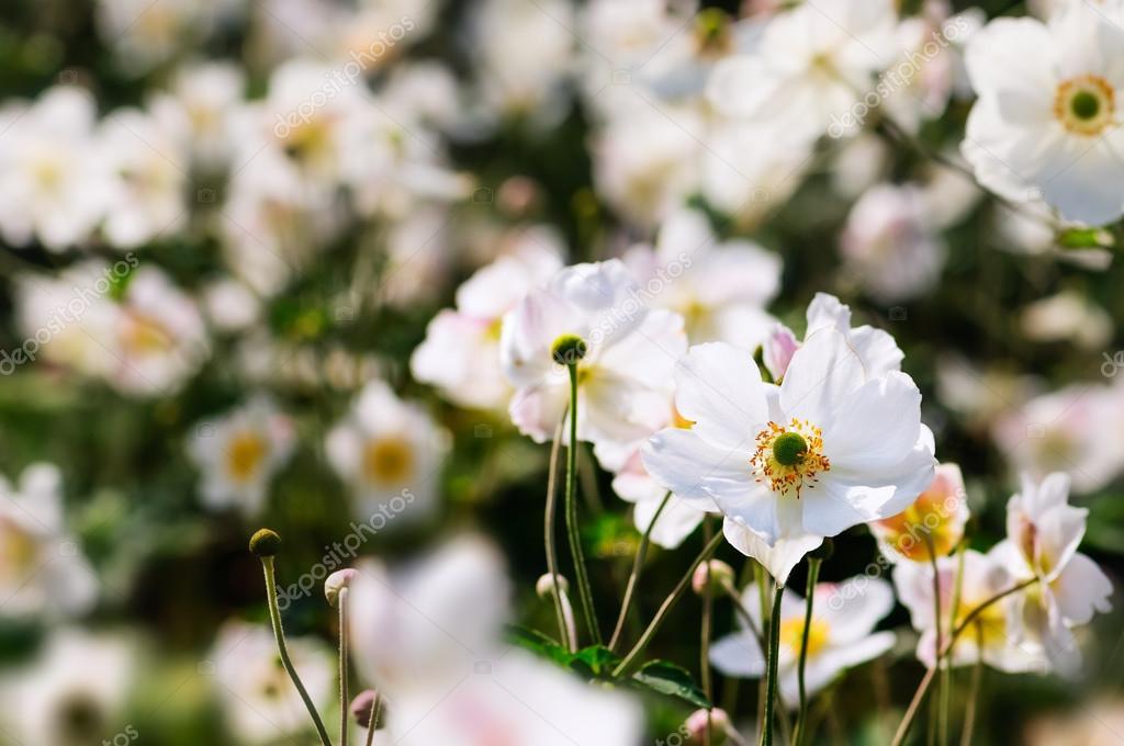 japanska anemoner h sten vita blommor stockfotografi. Black Bedroom Furniture Sets. Home Design Ideas