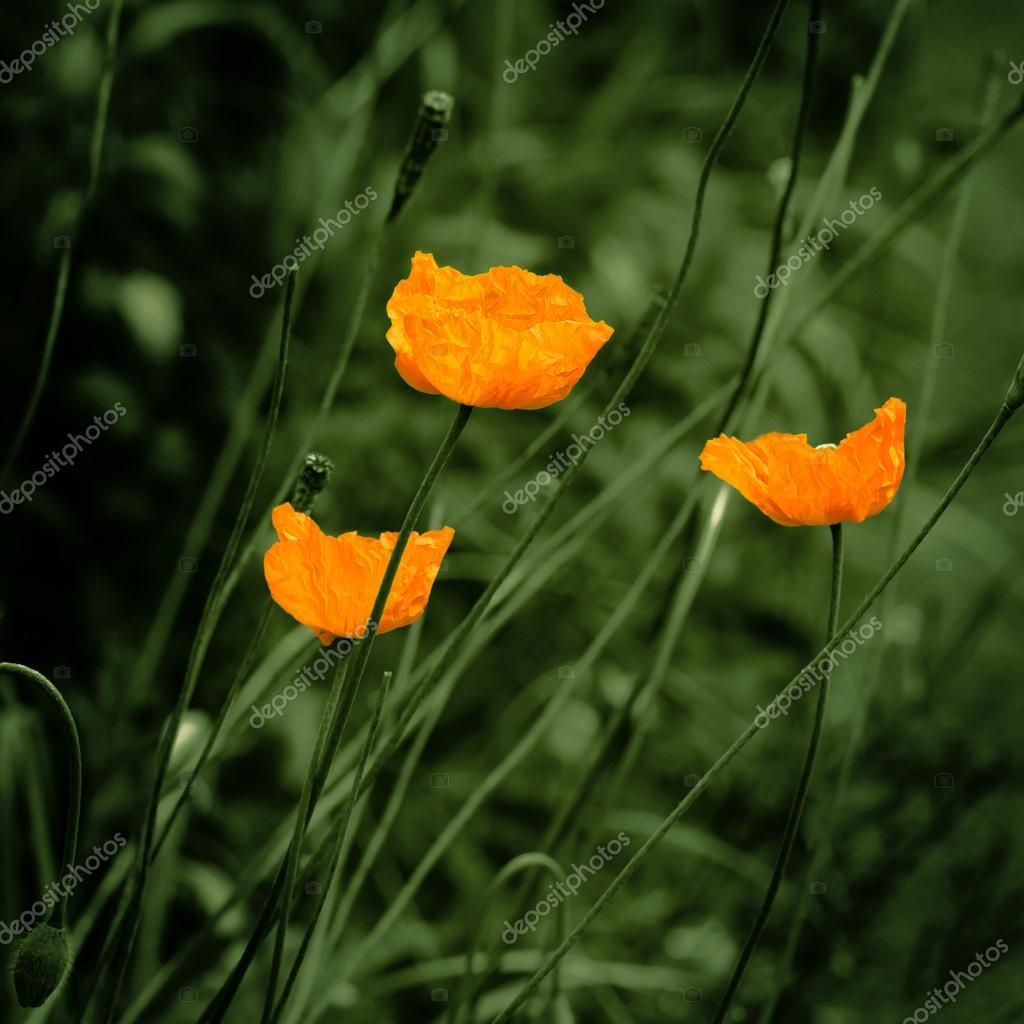 Eschscholzia Orange Poppy Flowers Vintage Feel Stock Photo