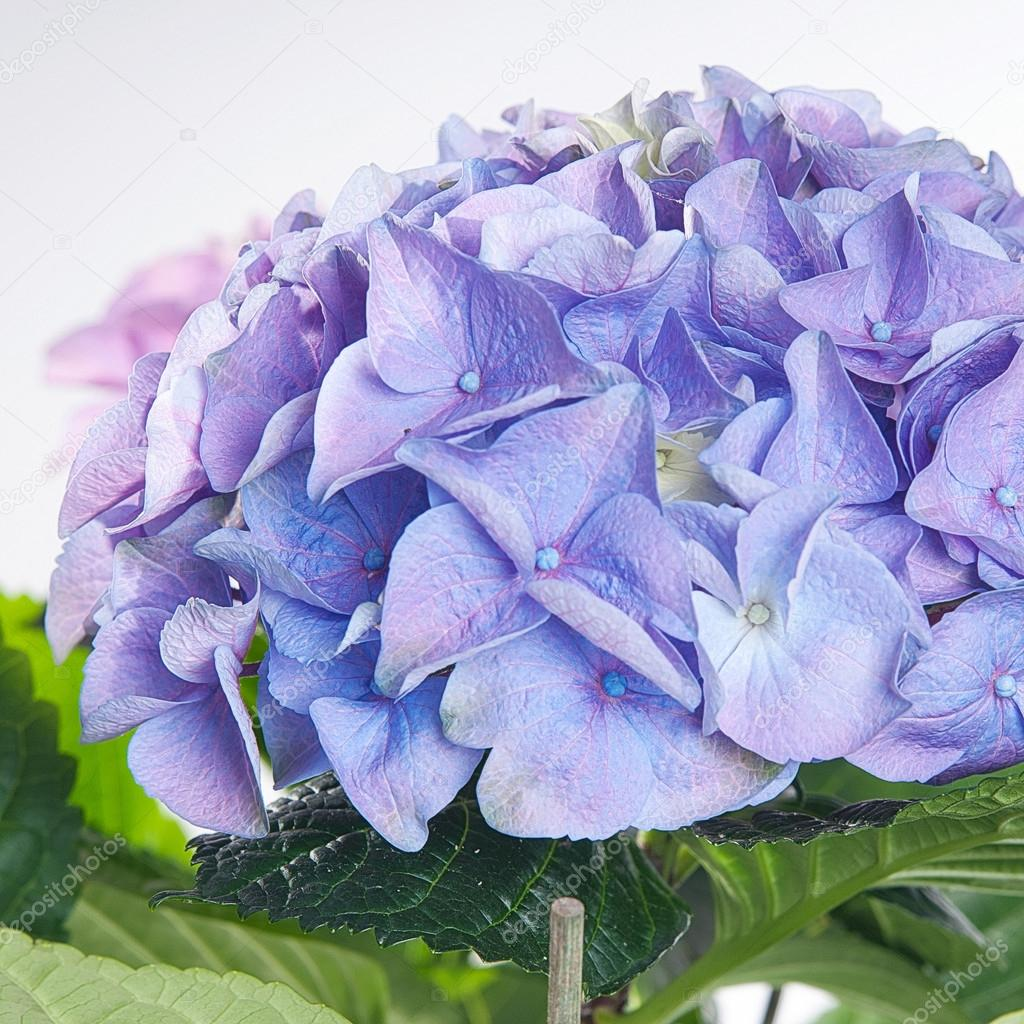 Hydrangea blue blooming in green leaves — Stock Photo © Rivera6 ...