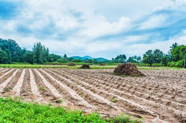 Cassava field harvest