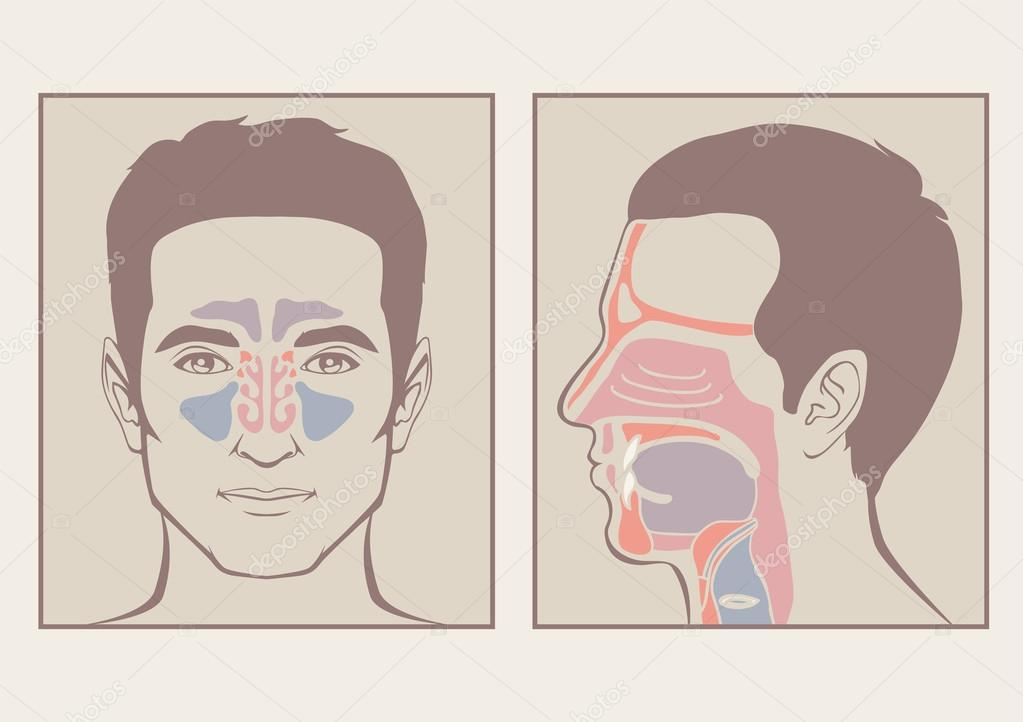 Nase, Rachen-Anatomie — Stockvektor © eveleen #64463825
