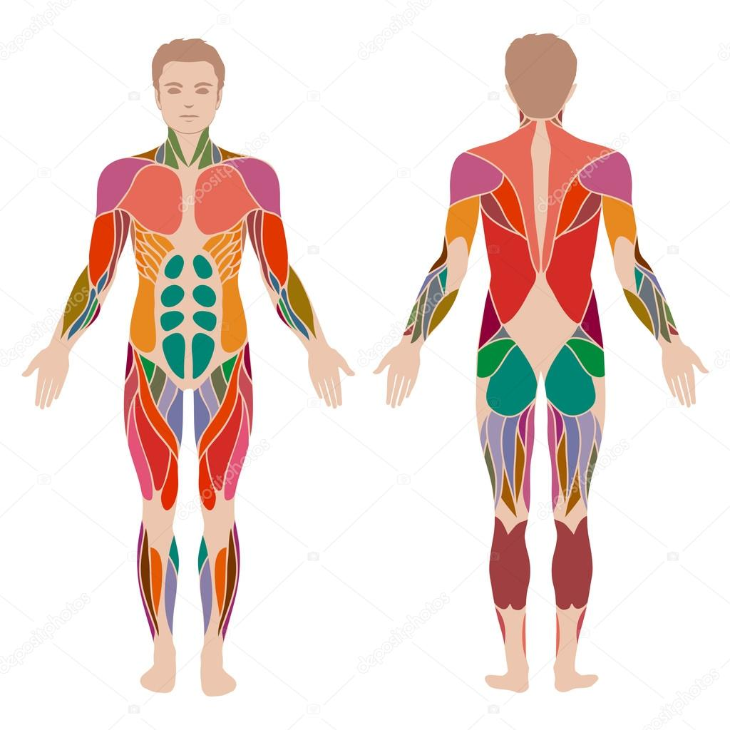 Body muscle man anatomy stock vector eveleen 69197855 vector muscular human body muscle man anatomy vector by eveleen ccuart Image collections