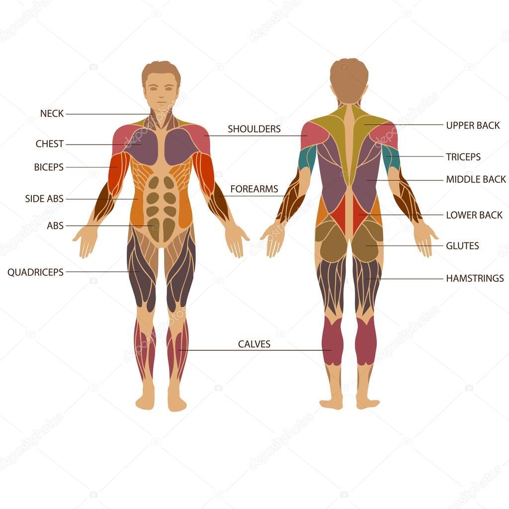 Menschlichen Körper, Muskel — Stockvektor © eveleen #69495905