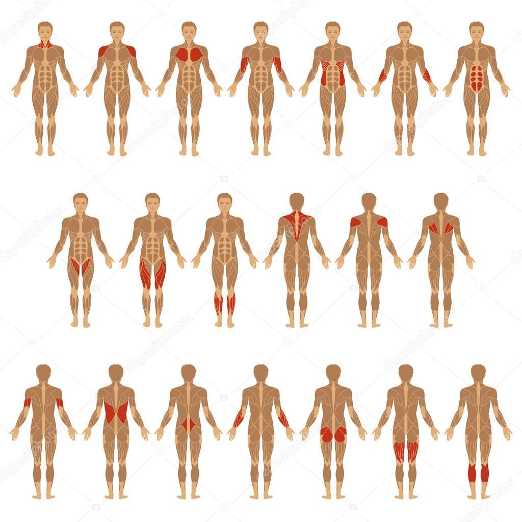Menschlichen Körper, Muskel — Stockvektor © eveleen #69495959