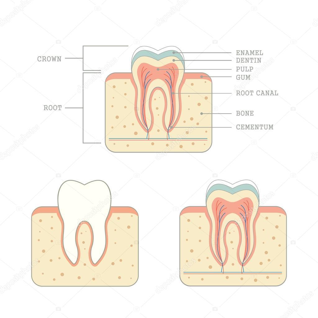 Anatomie der menschlichen Zahn — Stockvektor © eveleen #72279089