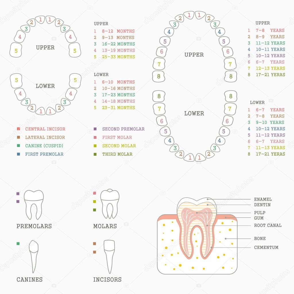 Zahn-Anatomie-Diagramm — Stockvektor © eveleen #72279129