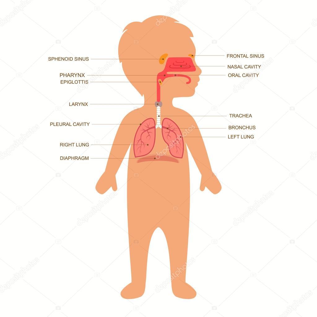 sistema respiratorio — Vector de stock © eveleen #79025908