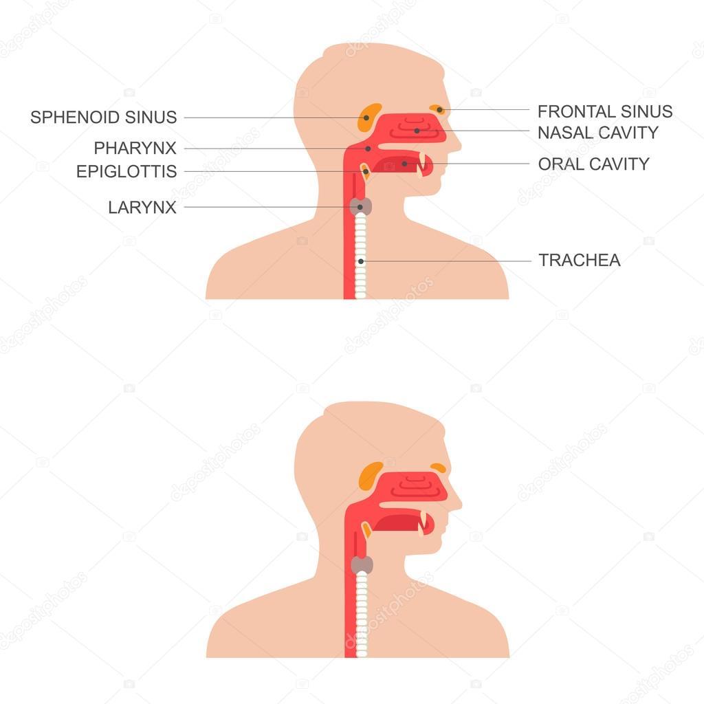 Nariz, anatomía de la garganta — Vector de stock © eveleen #80159000