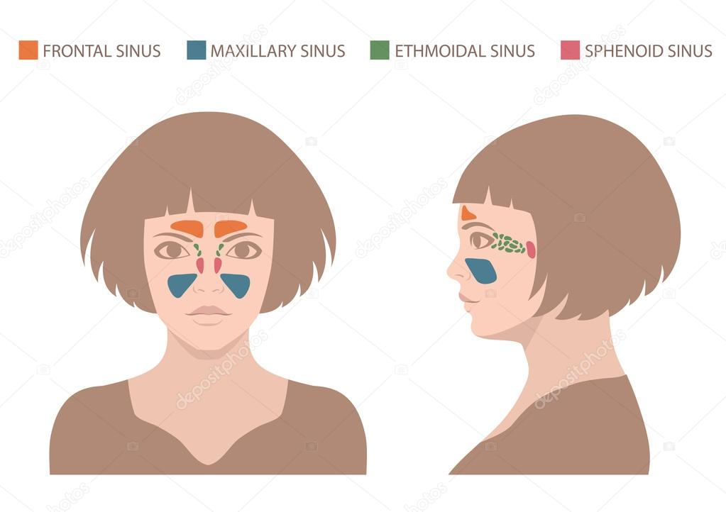 Anatomía del seno, sistema respiratorio humano — Archivo Imágenes ...