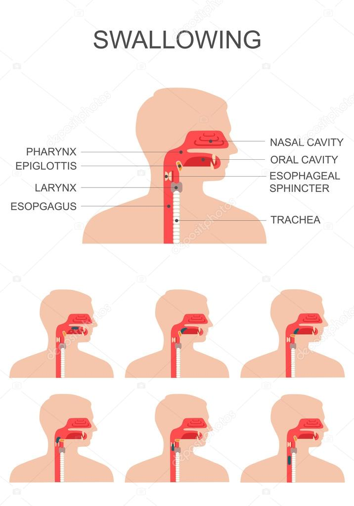 Swallowing Process Nose Throat Anatomy Stock Vector Eveleen