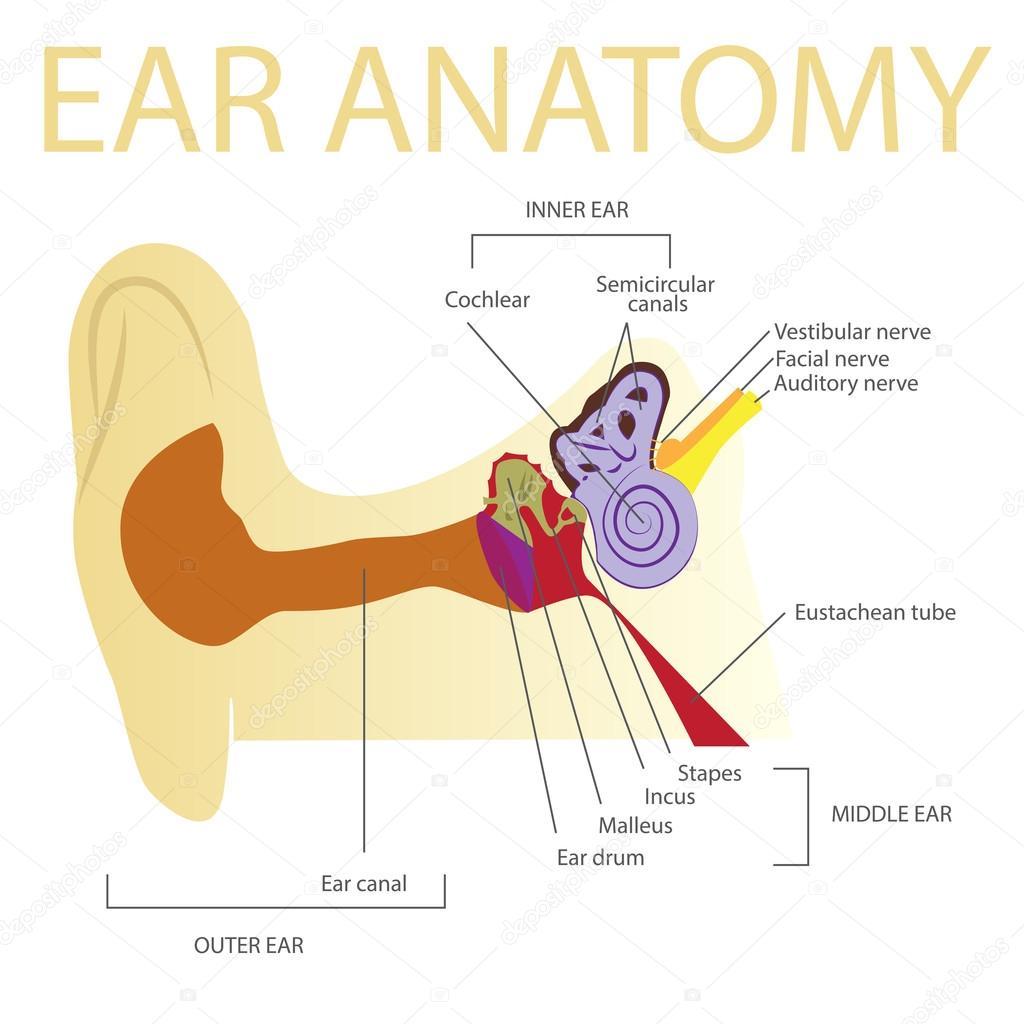 menschliche Ohr-Anatomie — Stockvektor © paveu #105874178