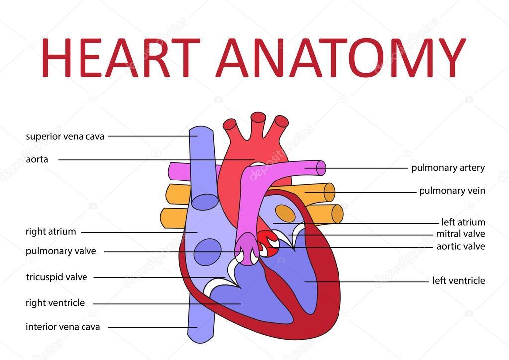 Anatomía del corazón — Vector de stock © paveu #79627502
