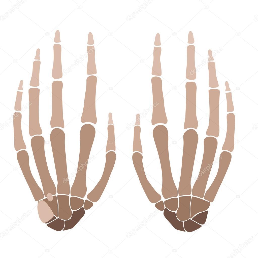 hand anatomie — Stockvector © paveu #82413196