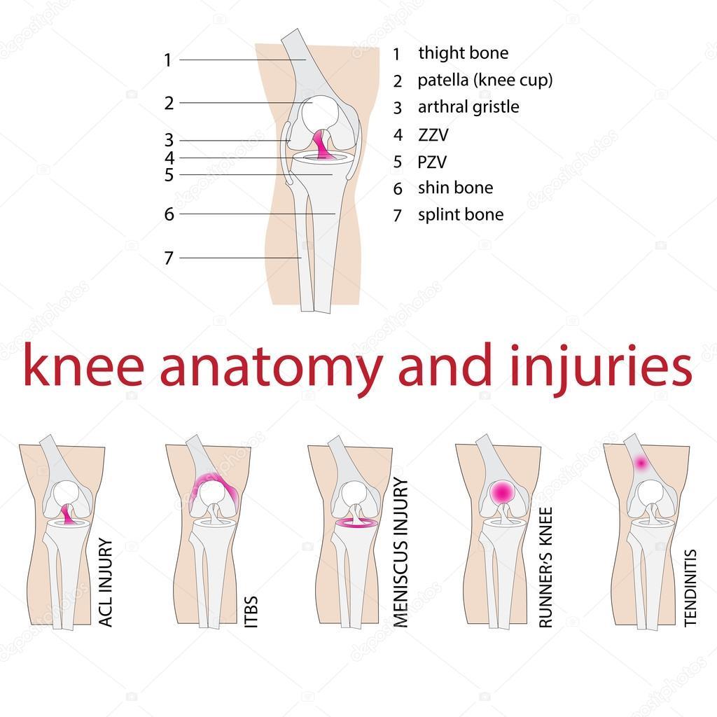 Anatomía de la rodilla — Archivo Imágenes Vectoriales © paveu #84832914