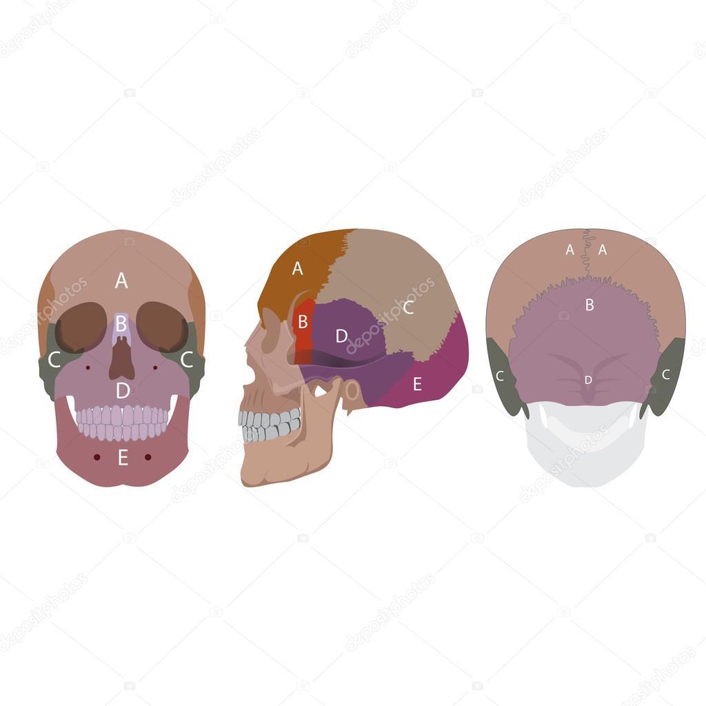 huesos de cabeza humanos — Vector de stock © paveu #93250142