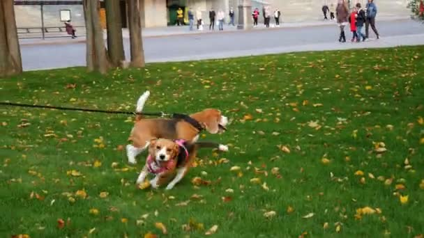Dogs are walking in the park. Autumn weather. Pets. Bigel playing on the grass. Shot in 4k