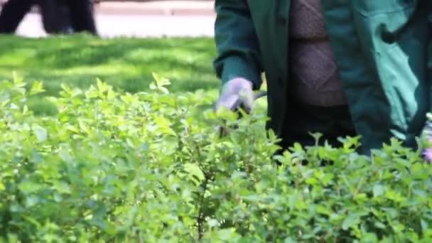 Az az ember vágja a bokrokat. Tavasz. Fák és bokrok metszése. Az utcák környezetbarátabbá tétele