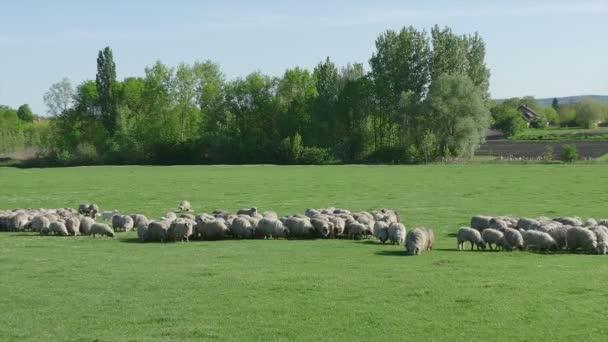 Stádo ale ovcí na louce