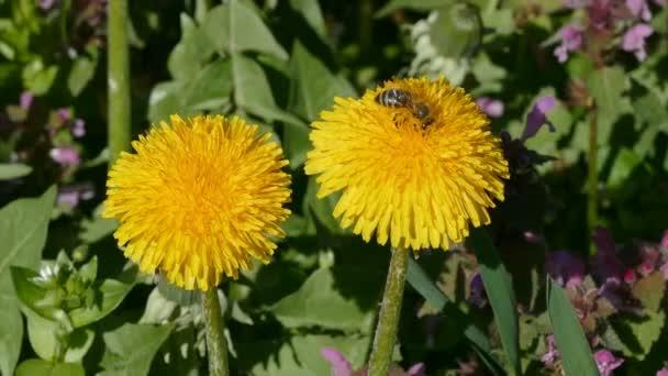 Spring flowers, dandelion and bee