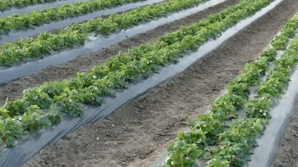 Pole zemědělské jahodové rostliny