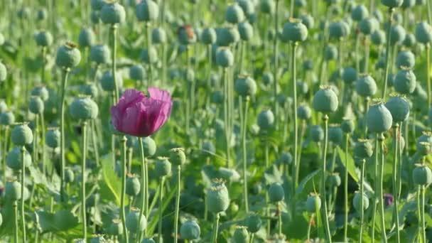 Mák virág és zöld gubók mező tavasszal