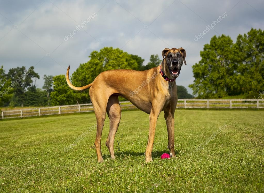 Great Dane standing in field panting, looking at viewer
