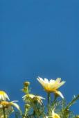 Területén virágok csodálatos daisy