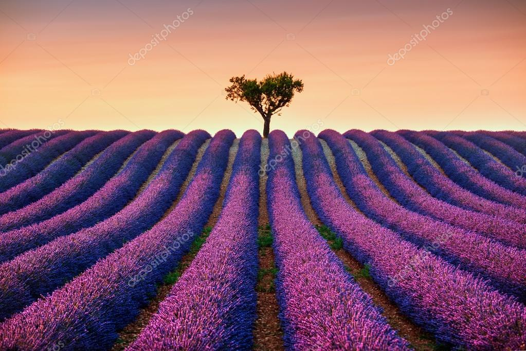 Lavender and lonely tree uphill on sunset. Provence, France