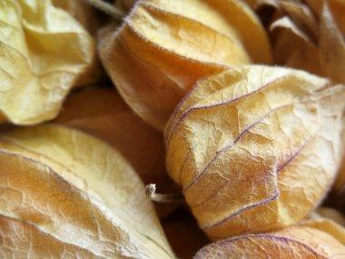 Aguaymanto, Peruvian fruit