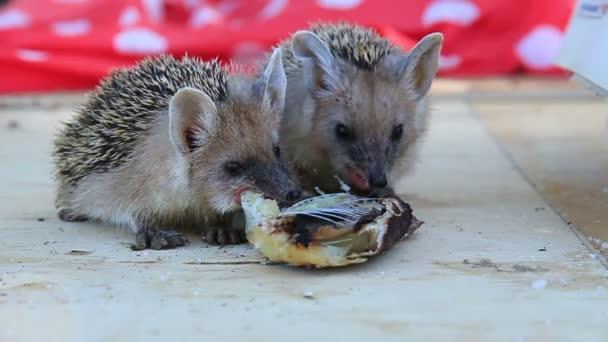 hedgehogs eat fish