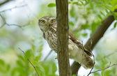 Fotografie the little owl in natural habitat (Athene noctua)