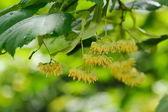 lipové květy stromu na větvi v létě