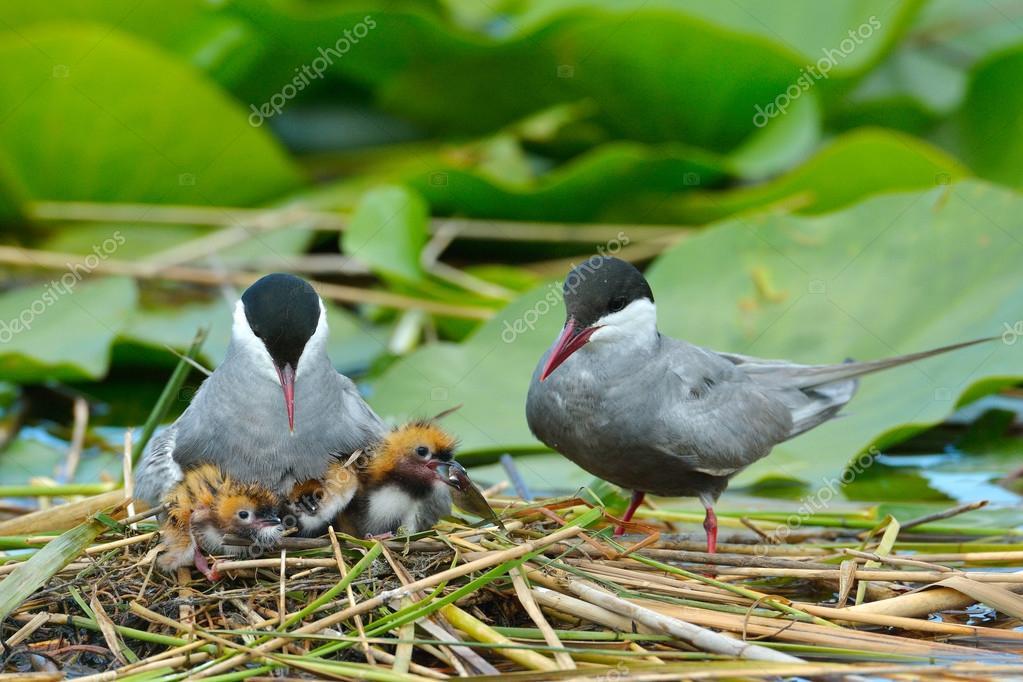 common tern feeding its chicks  (sterna hirundo)