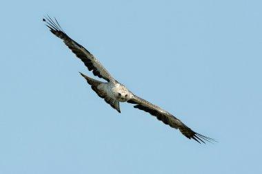The booted eagle (Aquila pennata)