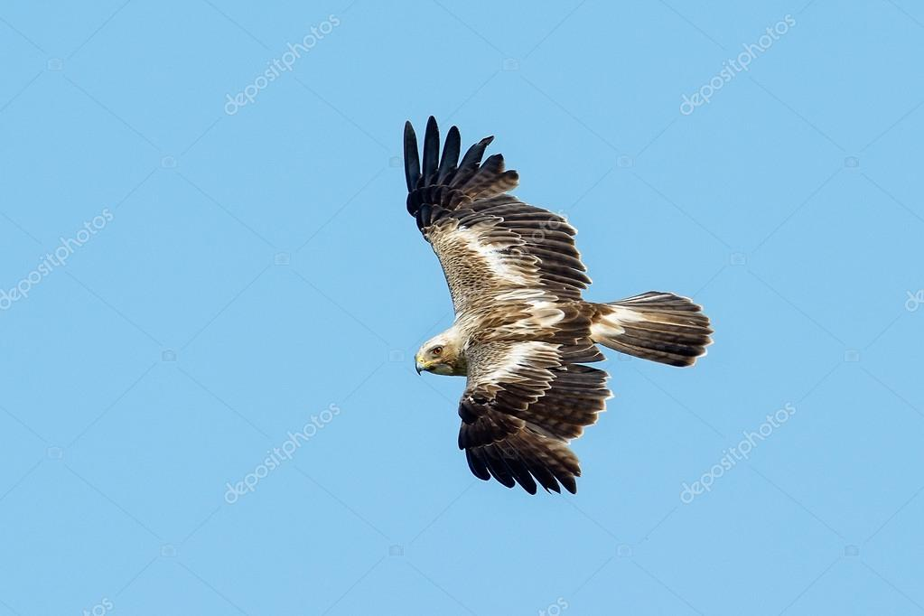 The booted eagle flying