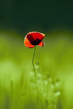 red poppy on green field