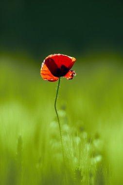 red poppy on green field
