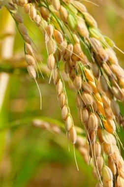 closeup of rice on plantation