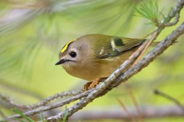 Golden-crowned Kinglet in natural habitat